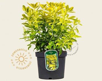 choisya-ternata-sundance-plant