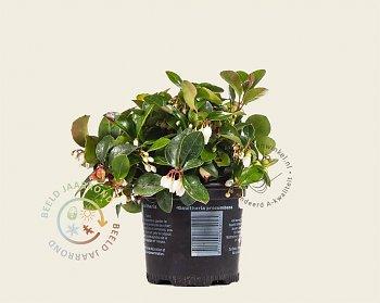 gaultheria-procumbens-plant
